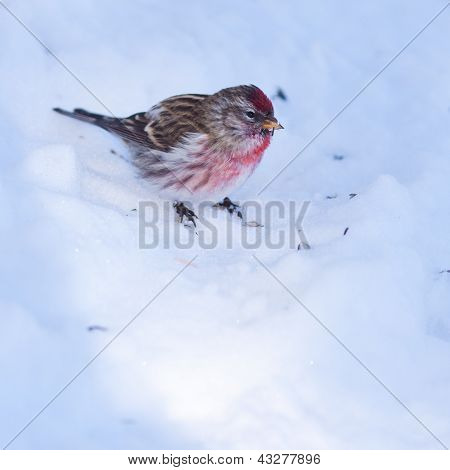 Common redpoll Carduelis flammea in winter snow