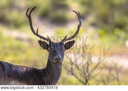 Fallow Deer Male (dama Dama) With Stags In Rutting Season. Amsterdamse Waterleidingduinen, Netherlan