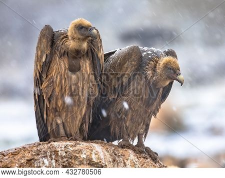 Griffon Vulture (gyps Fulvus) Two Birds Perched And Resting On Rock In Winter Conditions In Spanish