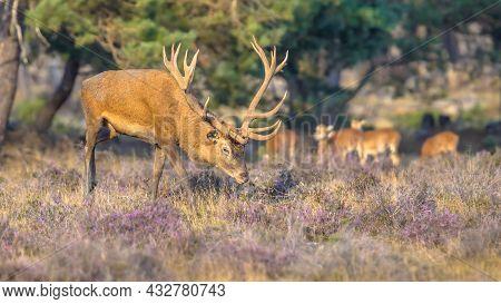 Male Red Deer (cervus Elaphus) Stag During Rutting Season In Autumn, Veluwe, Netherlands. Wildlife S