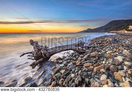 Washed Up Tree Trunk Driftwood On Pebble Beach Of Farinole Cap Corse, Corsica, France.