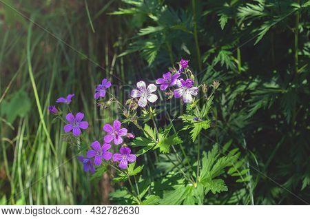 Geranium Sylvaticum, Woodland Geranium. Purple Forest Geranium Flowers On A Green Background Close-u