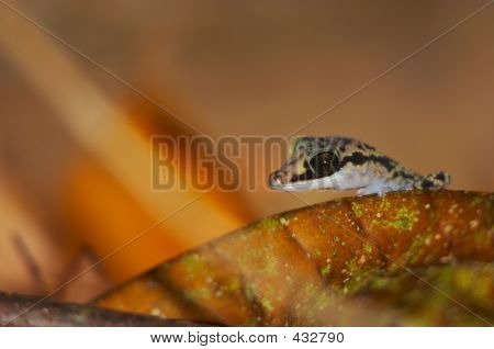 Wild Gecko, Madagascar