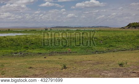 The Landscape Of The Endless African Savanna. An Impala Antelope Grazes On The Green Grass. You Can