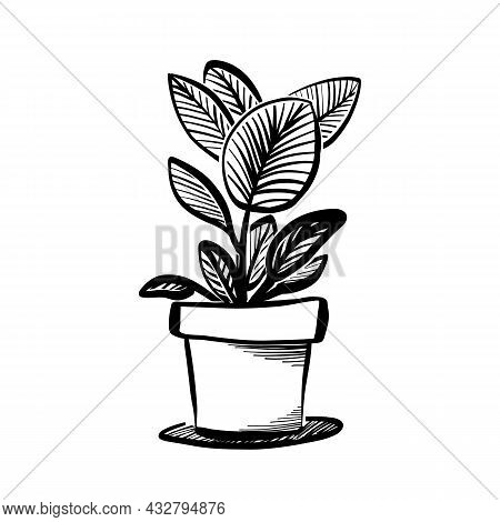 Ficus Tree Or Aspidistra Houseplant Sketch, Potted Rubber Fig Plant Icon, Sticker, Label. Vector Ill