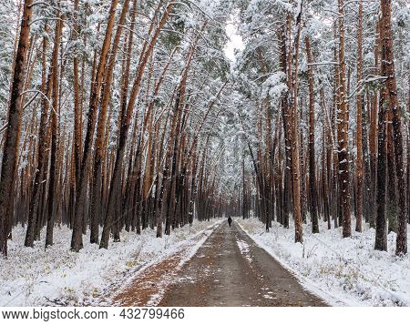 Forest In The Snow. Winter Picture. Woman Walks Along The Road Through A Coniferous Forest. The Crow