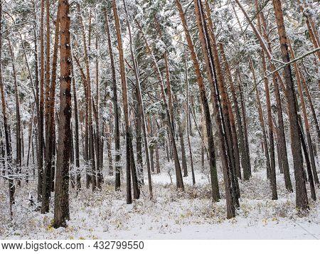 Forest In The Snow. Winter Picture. Chemal Village, Altai Republic, Russia.