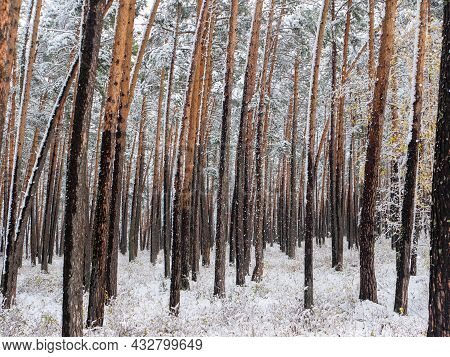 Forest In The Snow. Winter Picture. Snow Falling From The Trees. Chemal Village, Altai Republic, Rus