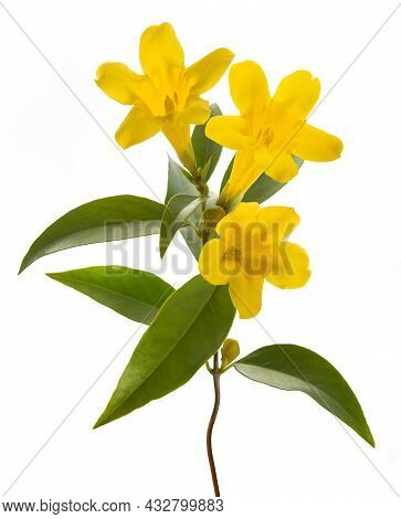 Gelsemium Sempervirens Isolated On A White Background