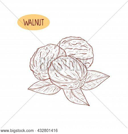 Walnut. Leaves, Fruit. A Drawing On A White Background.