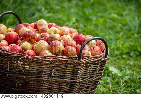 Knitted Wooden Basket With Red Apples On Green Field - Autumn Village Theme