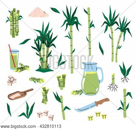 Sugarcane Plant. Different Parts Cane, Tropical Green Leaves And Stems, Plants Cuttings With Roots,