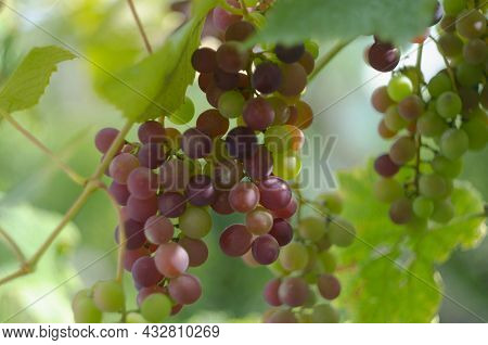 Multicolored Grapes On The Vineyard. Red Grapes Hanging On The Branches. Black Grapes Hanging On The