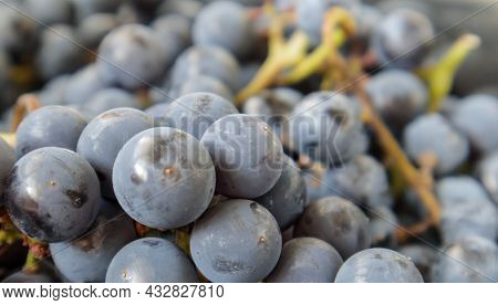 Collection Of Ripe Grapes. Red Wine Grapes Background. Freshly Picked Black, Blue Or Red Dark Wine G