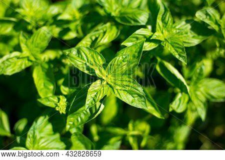Sweet Basil Green Plants Grows In Garden. Botanical Name Is Ocimum Basilicum. Organic Basil Plant Re