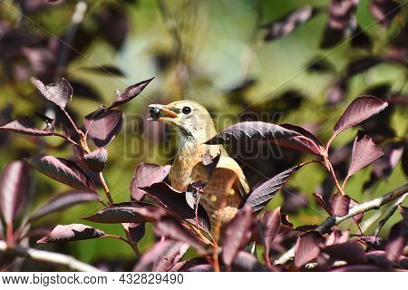 An Image Of A Red Breasted Robin Bird Eating A Black Berry While Perched On A Tree Branch.