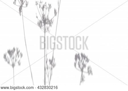 Abstract Shadows, Blurred Background Of Gray Leaves And Flowers. Dill Leaf Shadow On White Wall Back