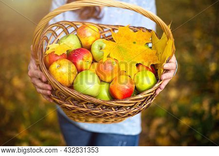 Colorful Apples In A Basket In The Hands Of A Farmer Woman. Autumn Background, Fallen Leaves, Maple.