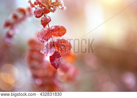 Red Rosehip Leaves In The Ice After An Icy Rain In Autumn. The First Frost, A Dry Rose Leaf Close-up