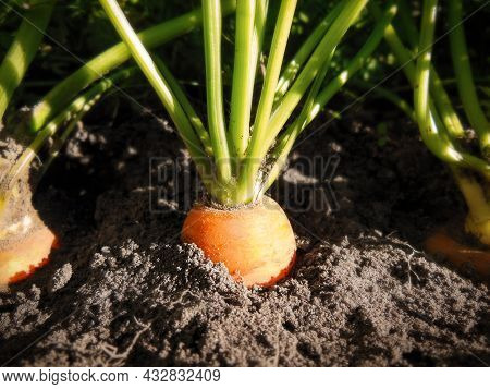 Close-up Of Carrot Grow In Soil The Garden. Growing Vegetables With Your Own Hands On A Farm, Backya