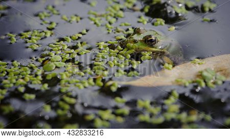 Marsh Frog, Pelophylax Ridibundus, In Nature Habitat. Wildlife Scene From Nature, Green Animal In Wa
