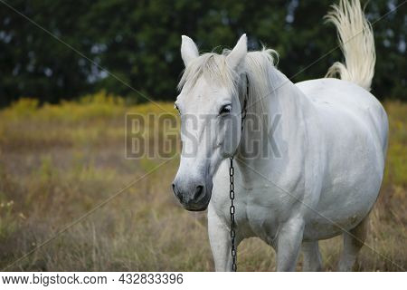 Close-up Portrait Of A White Horse. Beautiful Horse On Dry Grass In The Field. Arabian Horse Standin