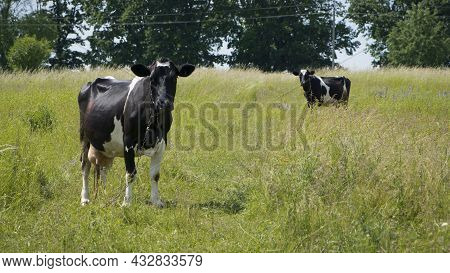 Dairy Cow In The Pasture. Two Cows. Black And White Young Cow, Stands On Green Grass. Spring Day. Mi