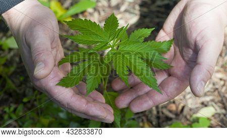 Cannabis. Bush Marijuana On Blurred Background. Bush Cannabis On The Palm. Male Hands Are Holding A