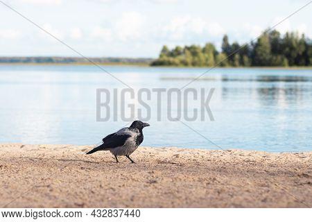 Big Bird Black Crow On A Sandy Beach Near The Lake.