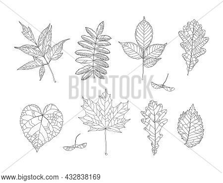 Autumn Drawing Leaves Set. Isolated Objects. Hand Drawn Illustrations - Maple, Maple Seeds, Ash-leav