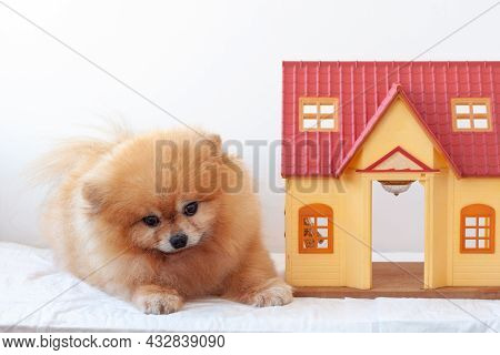 On A White Background There Is A Small House Next To A Red Little Dog A Pomeranian