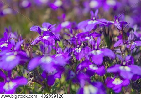 Beautiful Purple Flowers On A Flower Bed Close-up. Purple Flower Carpet.