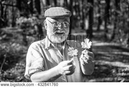 Take Walk To Wild Side. Old Man Collect Yellow Leaves. Happy Man Enjoy Autumn Nature. Bearded Man Wi