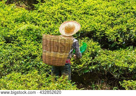 Worker Picking Tea Leaves In Tea Plantation In Cameron Highlands, Malaysia