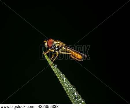 A Macro Shot Of A Hover Fly Sitting On A Dewdrop Covered Blade Of Grass Against A Dark Green Backgro