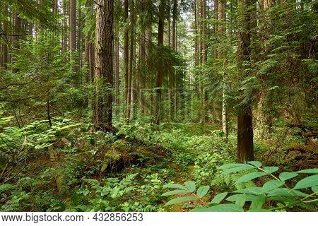 Pacific Spirit Park Forest Vancouver. Lush Forest Canopy In A Temperate Rainforest In Vancouver.