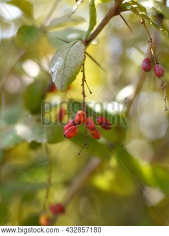 Amur Barberry Berries On Green Background. Russian Far East Autumn