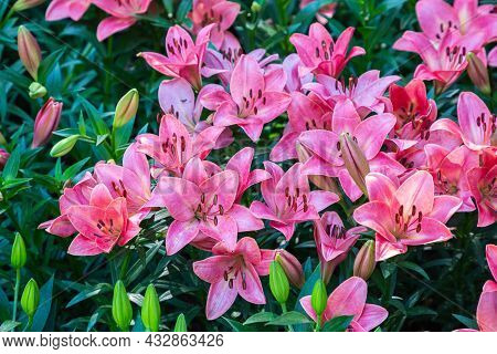 Beautiful Pink Lily Flower On Green Leaves Background.