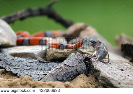 The Grey-banded Kingsnake (lampropeltis Alterna), Sometimes Referred To As The Alterna Or The Davis