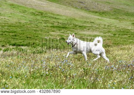 White Husky Dog Running In A Green Meadow