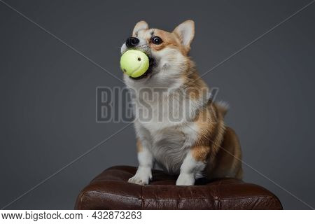 Doggy With Tennis Ball In Mouth Against Gray Background