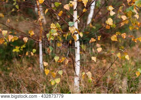 Defocus Close-up Yellow And Green Leaves On White Fall Birch Trees With Autumn Forest In Background.