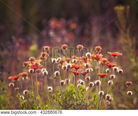 field of flowers at sunset with back lighting