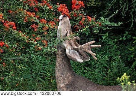young buck eating berries off a tree