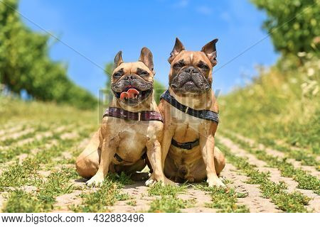Pair Of Similar Looking French Bulldog Dogs Sitting Next To Eacth Other Wearing Dog Harnesses Outdoo
