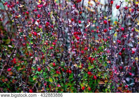 Natural Texture Of Autumn Barberry Bush With Red Berries On Thorny Branches. Violet-red-green Floral