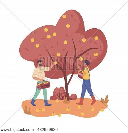 People Work On Plantation Picking Apple From Trees Isolated. Man Farmers Gathering Fruits In Wooden