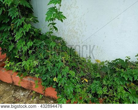 Stock Photo Of Bitter Gourd Or Bitter Lemon Plant As A Medicine Climbing Plant Growing In Home Garde