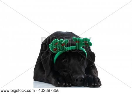 beautiful labrador retriever dog resting head on his paws and wearing green deer horns on his head