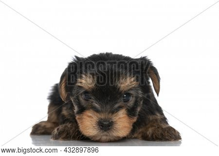 cute yorkshire terrier dog laying down and looking at the camera on white background